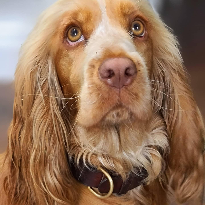 Nellie in a Carreducker dog collar